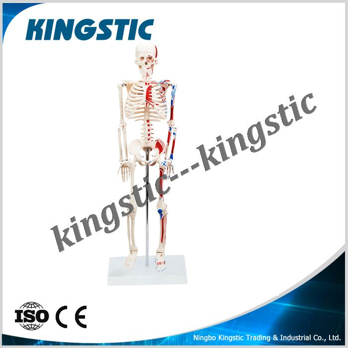 cbm-001f-85cm-skeleton-with-painted-muscles